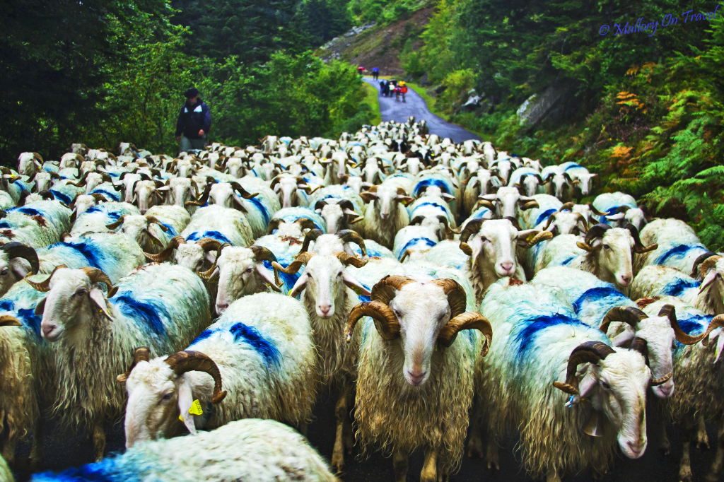 Tranhumance in Val d'Azun in the French Pyrenees on Mallory on Travel adventure photography
