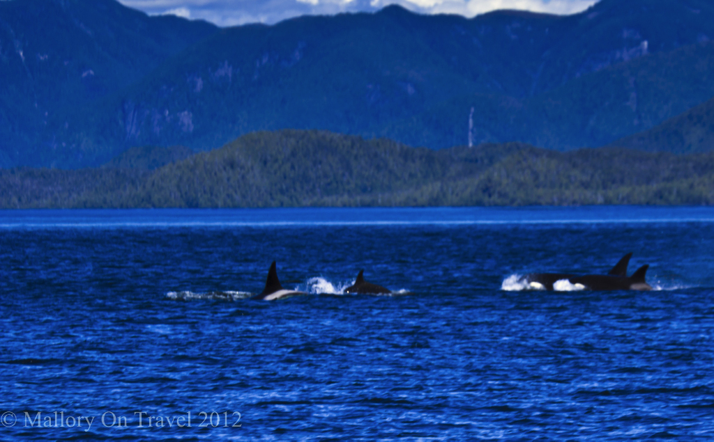 Whale watching safari; Orcas, a killer whale pod in the Great Bear Rainforest, on the North West Pacifici coast of British Columbia, Canada on Mallory on Travel adventure photography
