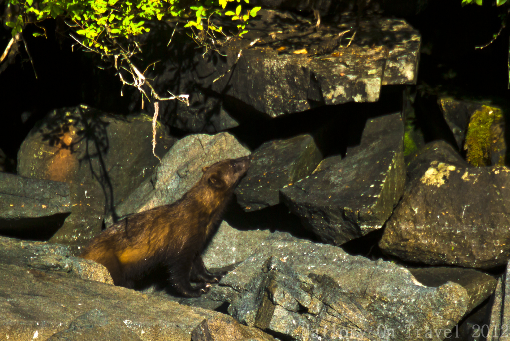 A wolverine at the King Pacific Lodge, British Columbia, Canada on Mallory on Travel adventure photography