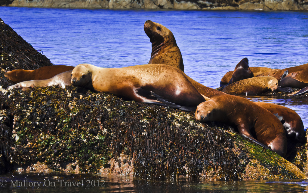Stellars sealions in the Great Bear Rainforest on the North West Pacific coast of British Columbia, Canada on Mallory on Travel adventure photography