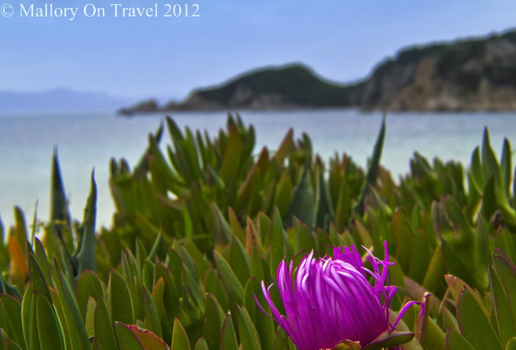 Flower on the beach on the island of Ammouliani off the Greek coast of Halkidiki near Ouranoupolis  on Mallory on Travel adventure photography