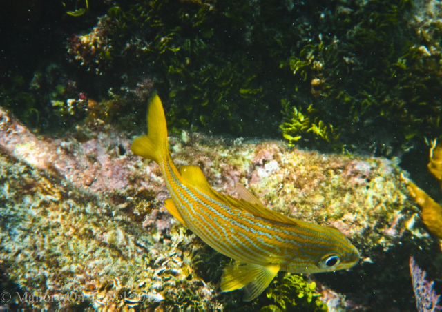 A wrasse out of its lair on the Great Mayan or Mesoamerican Reef off the Riviera Maya, Mexico on Mallory on Travel adventure photography Iain Mallory-300-11