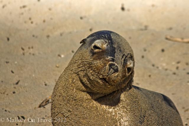 Australian Sealion pup on Kangaroo Island, South Autsralia on Mallory on Travel adventure photography