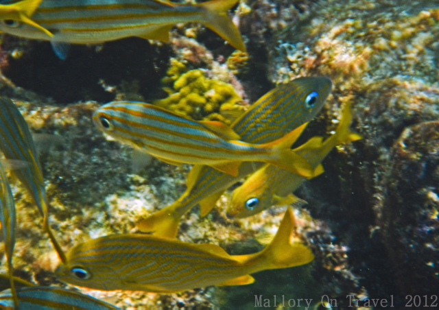 Shoaling fish amongst the coral on the Great Mayan or Mesoamerican Reef off the Riviera Maya, Mexico on Mallory on Travel adventure photography Iain Mallory-300-3