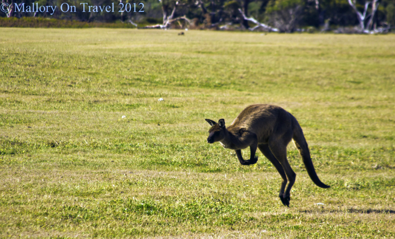 The national emblem of the continent on Kangaroo Island of the coast of South Australia on Mallory on Travel adventure photography