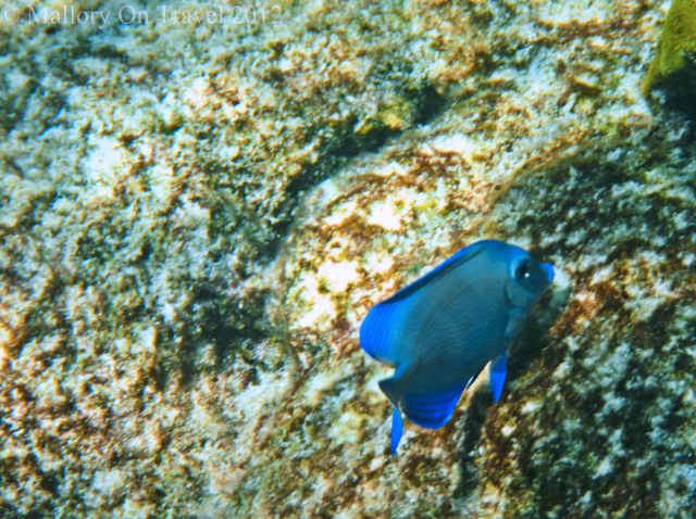 Damselfish on the second largest reef the Great Mayan or Mesoamerican Reef off the Riviera Maya, Mexico on Mallory on Travel adventure photography Iain Mallory-300-9