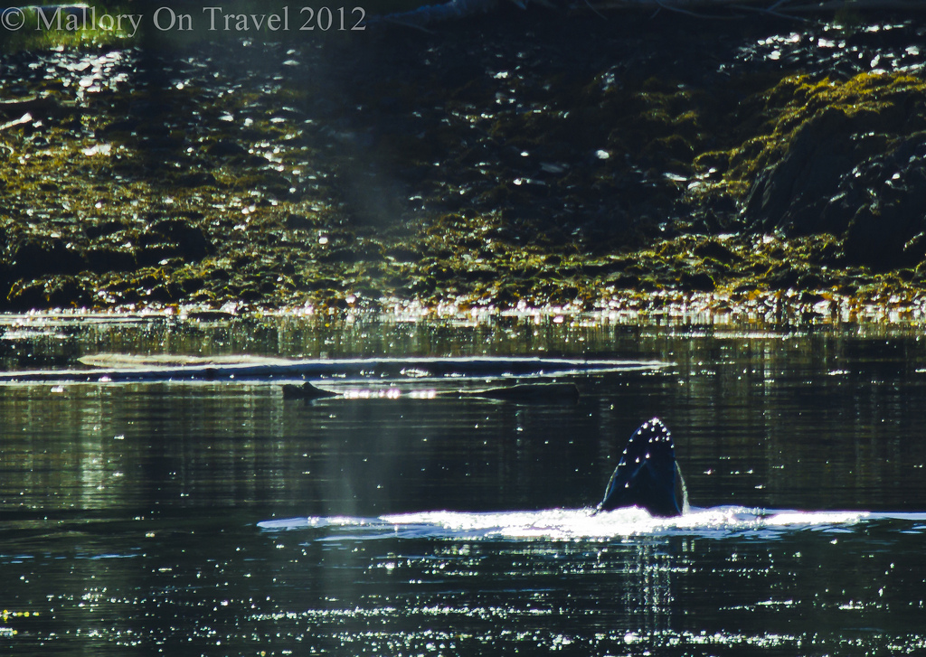Travel tips Humpback whale in the Great Bear Rainforest, north west Pacific coast of British Columbia, Canada on Mallory on Travel adventure photography Iain Mallory-300-10