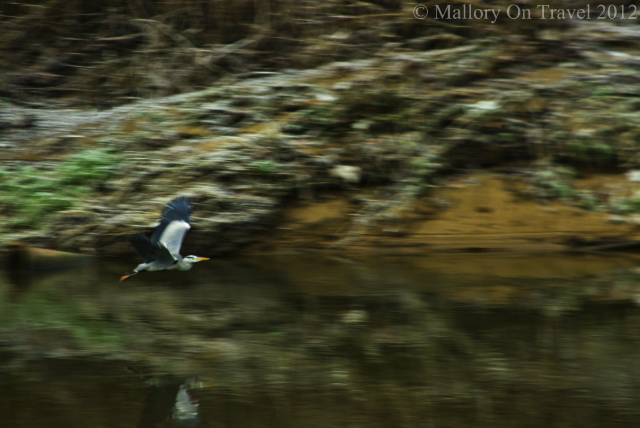Heron flying the river in suburban Salford woodland, of greenbelt Manchester in the United Kingdom on Mallory on Travel adventure photography Iain Mallory-300-57_heron_inflight