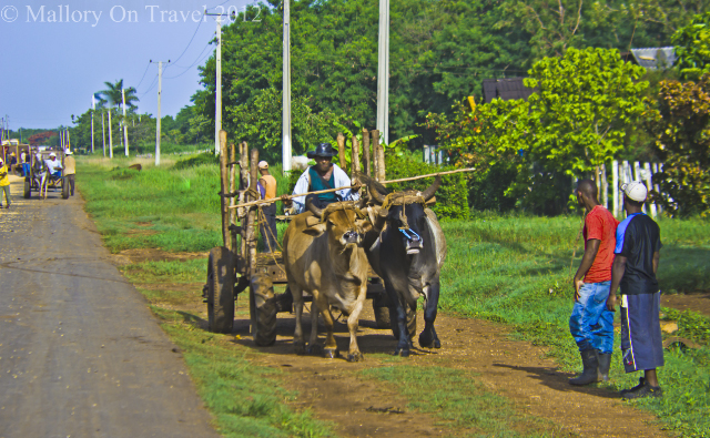 Ox drawn cart transport on the rice road to Havana on the Caribbean island of Cuba on Mallory on Travel, adventure, photography