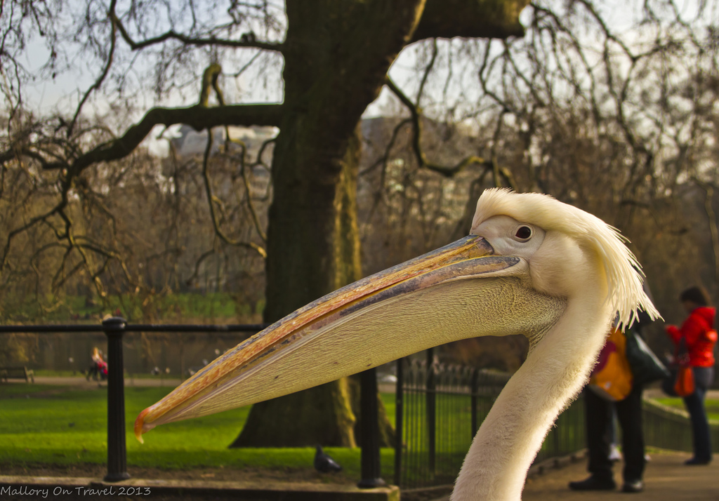 A Pelican close-up in St James's Park on Pall mall in London, United Kingdom on Mallory on Travel, adventure, adventure travel, photography Iain Mallory-300-36