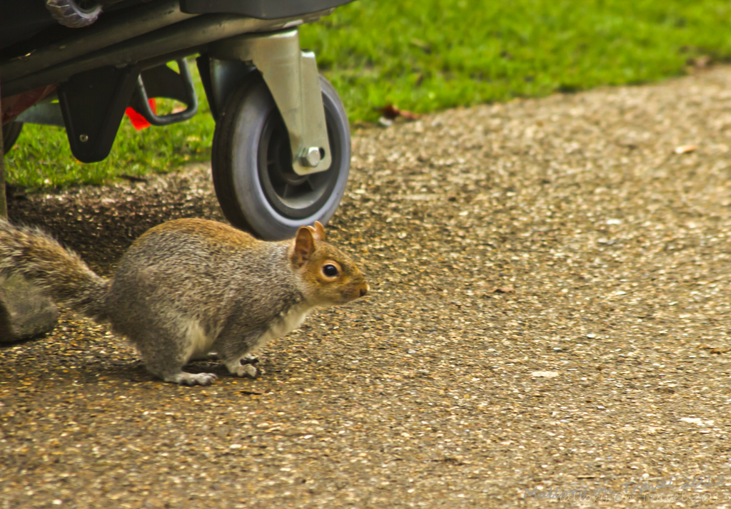 Cheeky squirrel in St James's Park off Pall mall in London, United Kingdom on Mallory on Travel, adventure, adventure travel, photography Iain Mallory-300-31