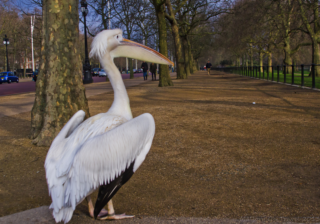 Pelicans in St James's Park near Buckingham Palace in London, United Kingdom on Mallory on Travel, adventure, adventure travel, photography Iain Mallory-300-38