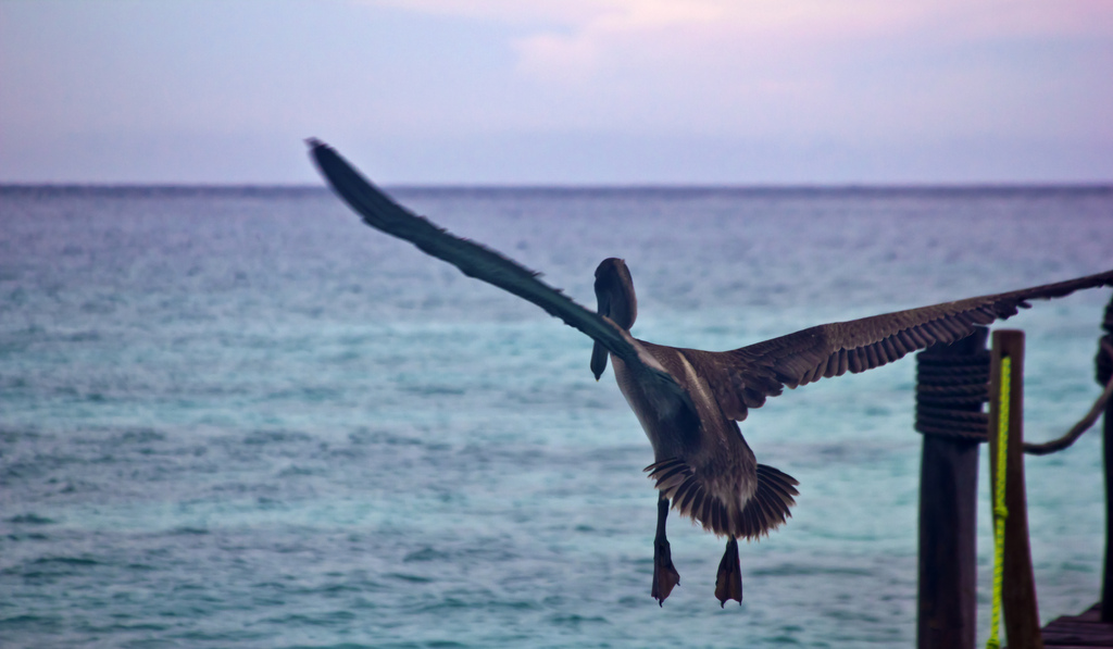 Pelicans in flight on the Riviera Maya, Playa del Carmel in Mexico on Mallory on Travel adventure photography Iain Mallory-300-32 (2)