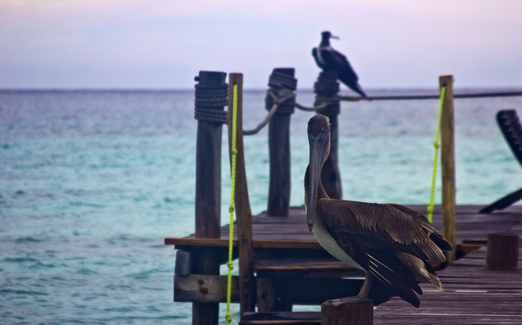 Pelicans & a frigate bird on a jetty on the Riviera Maya, Playa del Carmel in Mexico on Mallory on Travel adventure photography Iain Mallory-300-31 (3)