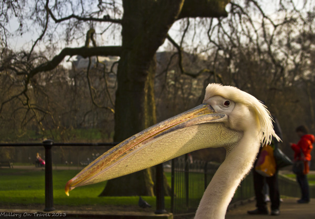 A St James's Park pelican on Pall Mall near Buckingham Palace, London, United Kingdom on Mallory on Travel, adventure, adventure travel, photography