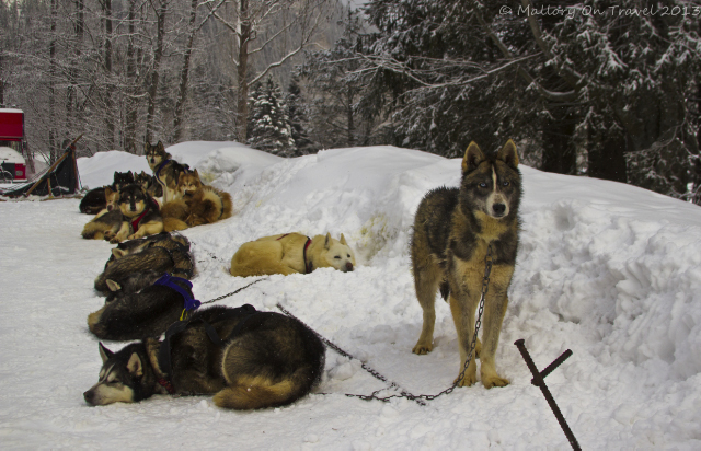 Huskies; a dog sled team in Chamonix in the French on Mallory on Travel, adventure, adventure travel, photography Iain Mallory-300-35 sledge_dogs