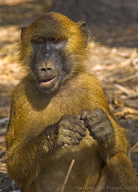 Male baboon at Mandina Lodges in the Makasutu Forest in The Gambia on Mallory on Travel, adventure, adventure travel, photography Iain Mallory-300-4