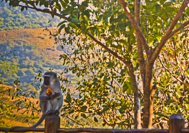 Cheeky monkey in the South African bush at Karkloof Spa in the KwaZulu-Natal on Mallory on Travel, adventure, adventure travel, photography Iain Mallory-300-50_monkey