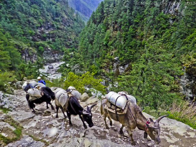 Trekking in Nepal;A Dzo (yakow) train in the high Himalaya, on the Everest Base Camp trail in the Khumbu region on Mallory on Travel, adventure, adventure travel, photography