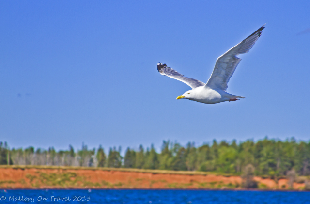 Following seagull on a lobster fishing cruise out of Georgetown on Prince Edward Island, New Brunswick, Canada  on Mallory on Travel adventure, adventure travel, photography Iain Mallory-300-170_seagull