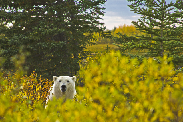 A friendly polar bear playing peek-a-boo at Nanuk Polar Bear Lodge, Manitoba in Canada on Mallory on Travel adventure, adventure travel, photography Iain Mallory-300-35_polar_bear