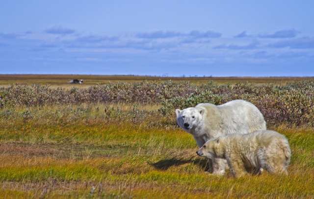 Mother polar bear and cub in Hudson Bay, Manitoba, Canada on Mallory on Travel adventure, adventure travel, photography Iain Mallory-300-61_polarbear_cub