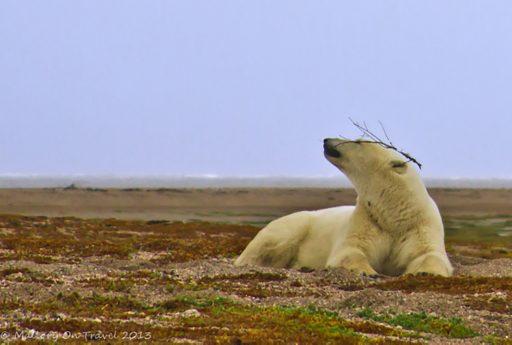 Polar bear on the coast of Hudson Bay in Manitoba, Canada on Mallory on Travel adventure, adventure travel, photography Iain Mallory-300-66_polar_bear