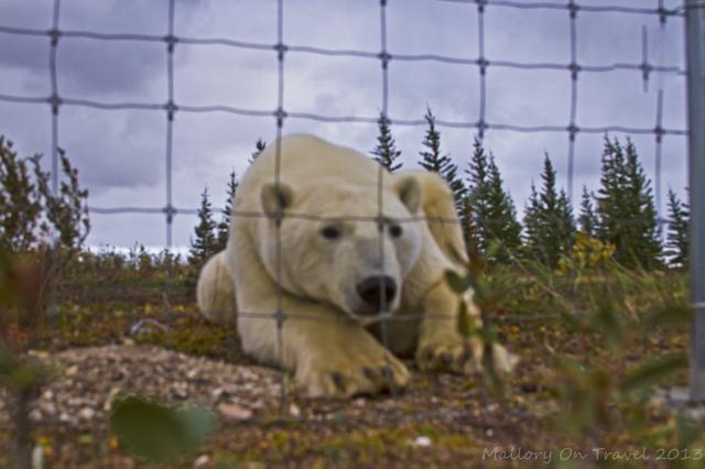 Polar bear at Nanuk Polar Bear Lodge on Hudson Bay in Manitoba, Canada on Mallory on Travel adventure, adventure travel, photography Iain Mallory-300-75_polar_bear