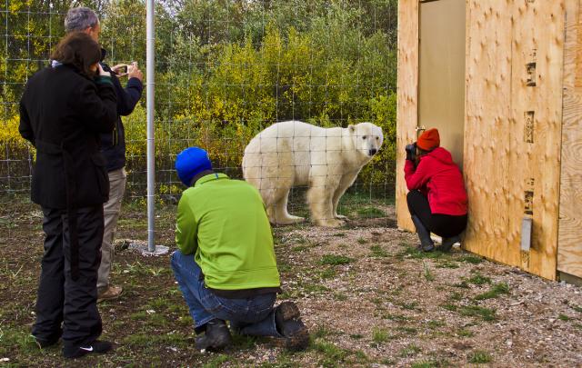 Photographers and a polar bear at Nanuk Polar Bear Lodge in Manitoba, Canada on Mallory on Travel adventure, adventure travel, photography Iain Mallory-300-76_polar_bear