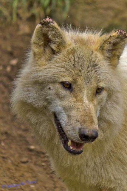 Captive wolf in a Pyrenean Animal Sanctuary in France on Mallory on Travel adventure, adventure travel, photography Iain_Mallory_02633_european_wolf