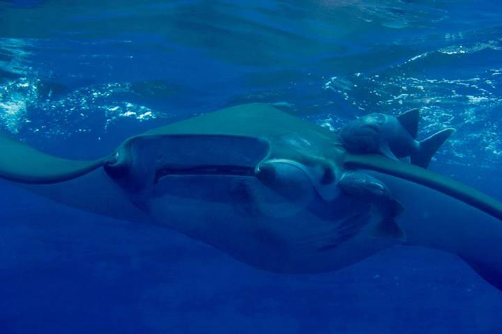 Manta ray off the British run island of St Helena in the Atlantic Ocean on Mallory on Travel adventure, adventure travel, photography