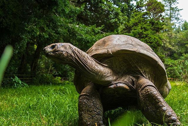Jonathon the giant tortoise, the oldest, known living land animal on Mallory on Travel adventure, adventure travel, photography Iain Mallory-350 jonathon_tortoise