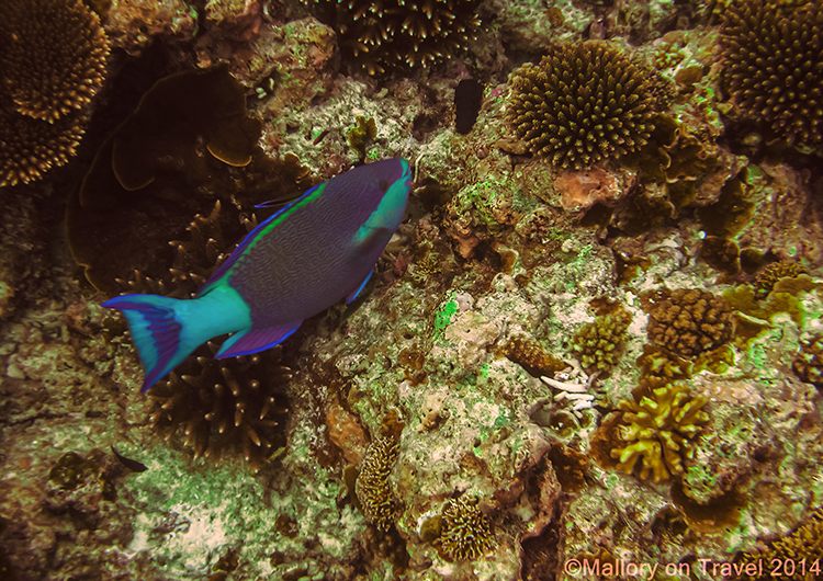 Cleaner wrasse, Lady Elliot Island in the Great Barrier Reef, Queensland, Australia on Mallory on Travel adventure, adventure travel, photography Iain Mallory-300-21 cleaner_wrasse