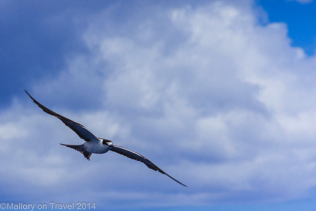 Tern in flight on the South Atlantic island of St Helena on Mallory on Travel adventure, adventure travel, photography Iain Mallory-300-40 flying_tern