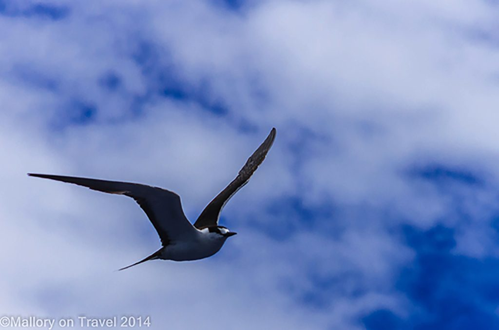Tern in flight on the South Atlantic island of St Helena on Mallory on Travel adventure, adventure travel, photography Iain Mallory-300-41 flying_seabird
