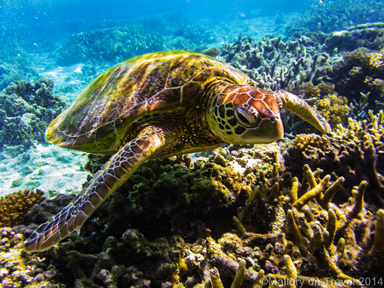 Green turtle, Lady Elliot Island in the Great Barrier Reef, Queensland, Australia on Mallory on Travel adventure, adventure travel, photography Iain Mallory-300-42 reef_turtle