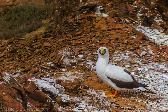 A masked booby on guano covered volcanic St Helena on Mallory on Travel adventure, adventure travel, photography Iain Mallory-300-44 masked_booby