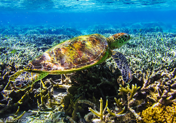 Green turtle, Lady Elliot Island in the Great Barrier Reef, Queensland, Australia on Mallory on Travel adventure, adventure travel, photography Iain Mallory-300- green_turtle