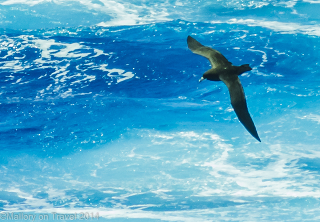 Roaming petrel swooping low over the waves of the South Atlantic Ocean on Mallory on Travel adventure, adventure travel, photography Iain Mallory-300-8 roaming_petrel