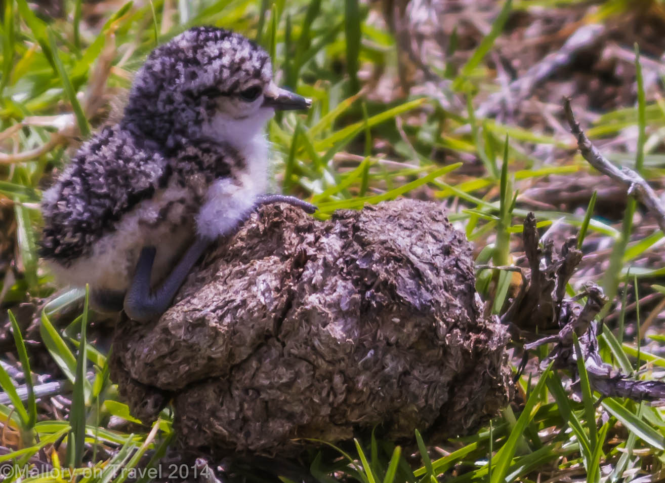 Endemic wirebird on the South Atlantic island of St Helena on Mallory on Travel adventure, adventure travel, photography Iain Mallory-311 wirebird_chick