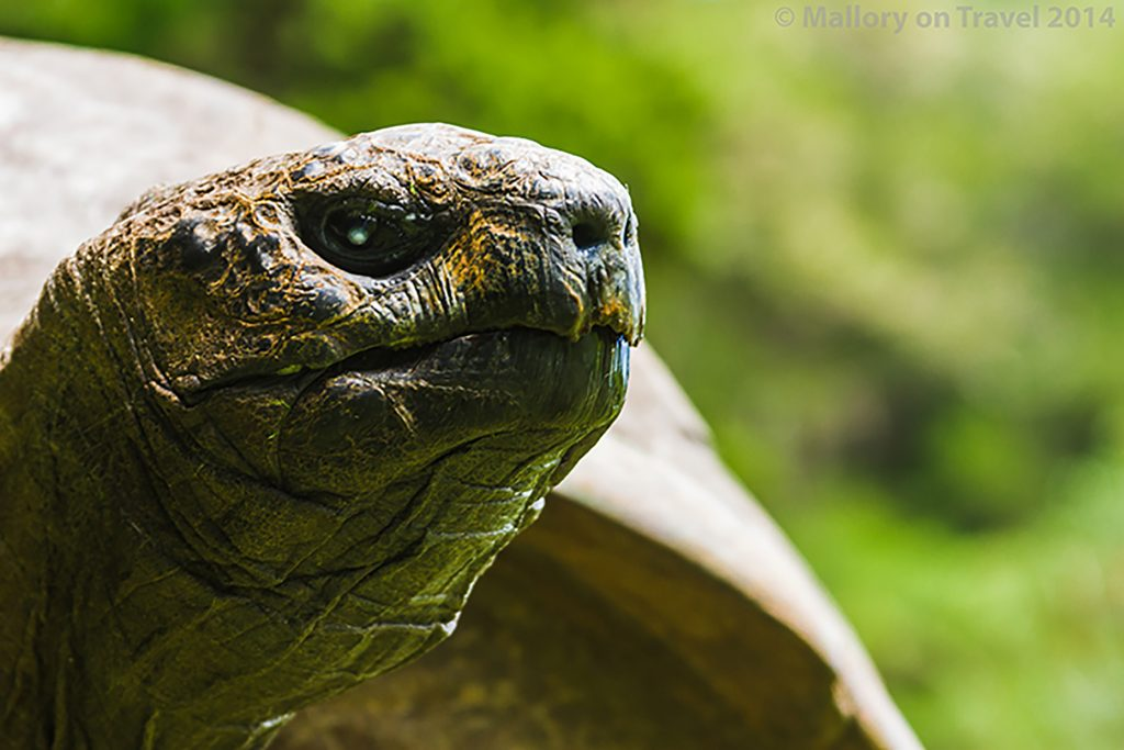 Jonathon the giant tortoise, famous resident at Plantation House on the South Atlantic island of St Helena on Mallory on Travel adventure, adventure travel, photography Iain Mallory-300-2 jonathan_tortoise