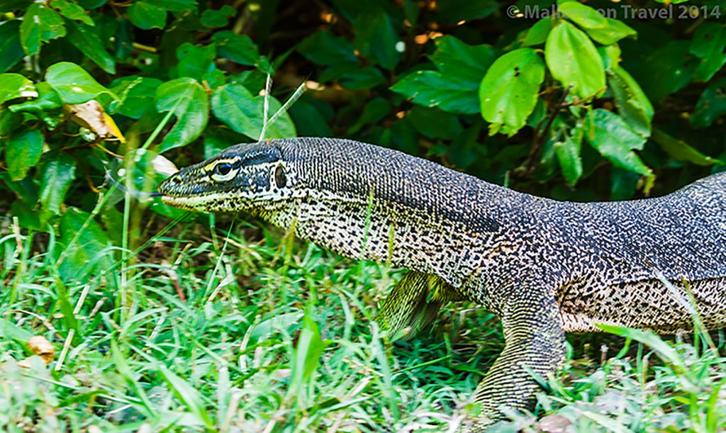 Monitor lizard on Keswick Island in the Whitsundays, near Mackay. Queensland in Australia on Mallory on Travel adventure, adventure travel, photography Iain Mallory-300-211 monitor_lizard