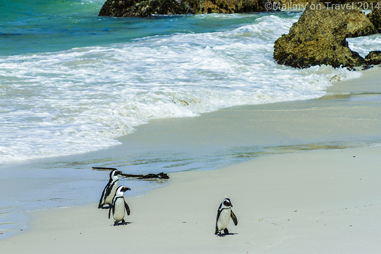 African 'Jackass' penguins at Cape Point; the Cape of Good Hope, Table Mountain National Park near Cape Town, South Africa on Mallory on Travel adventure, adventure travel, photography Iain Mallory-300-29 african_penguins