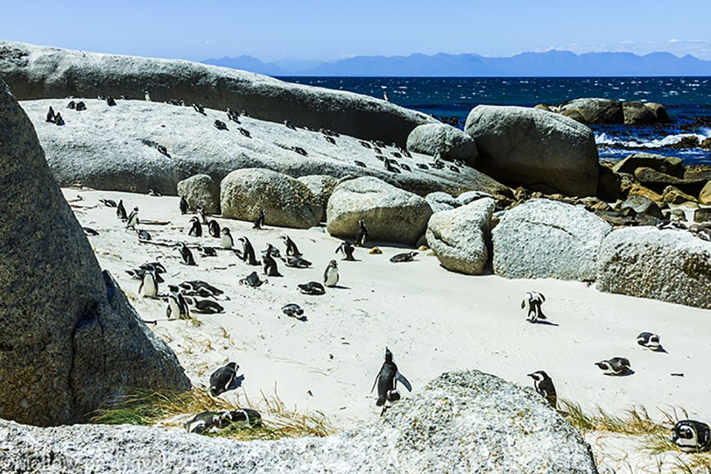 African penguins on Boulder Beach, Simon's Town near Cape Town, South Africa on Mallory on Travel adventure, adventure travel, photography Iain Mallory-300-32 boulder_beach