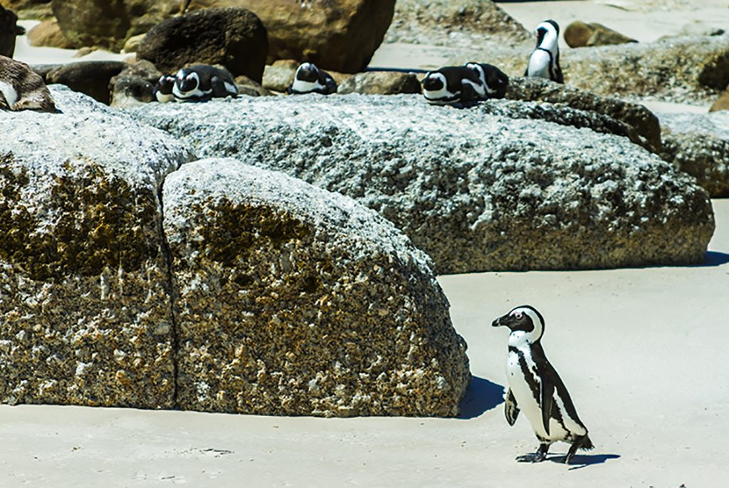 African penguins on Boulder Beach, Simon's Town near Cape Town, South Africa on Mallory on Travel adventure, adventure travel, photographyIain Mallory-300-33 african_penguin