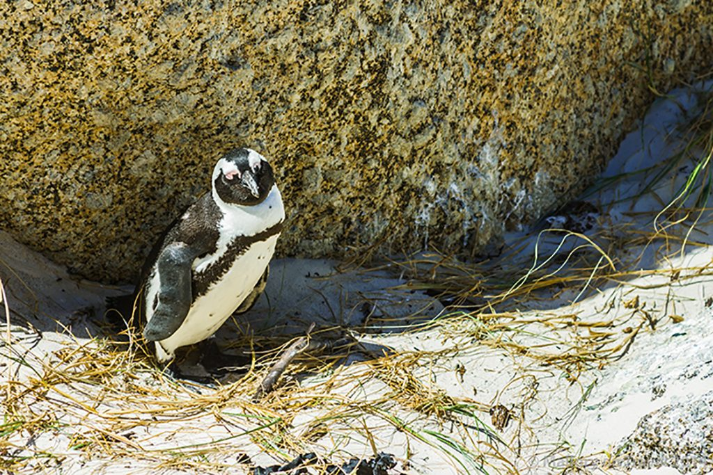 Jackass or African penguin on Boulder Beach, Simon's Town near Cape Town, South Africa on Mallory on Travel adventure, adventure travel, photography Iain Mallory-300-37 jackass_penguin