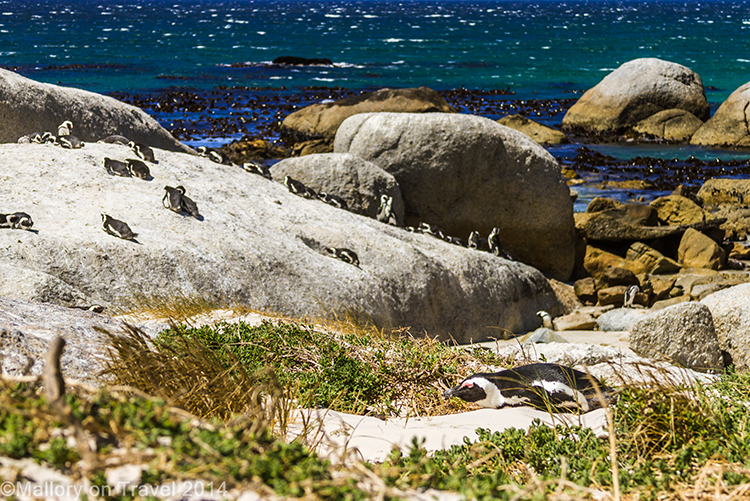 African penguins on Boulder Beach, Simon's Town near Cape Town, South Africa on Mallory on Travel adventure, adventure travel, photography Iain Mallory-300-35 boulder_beach
