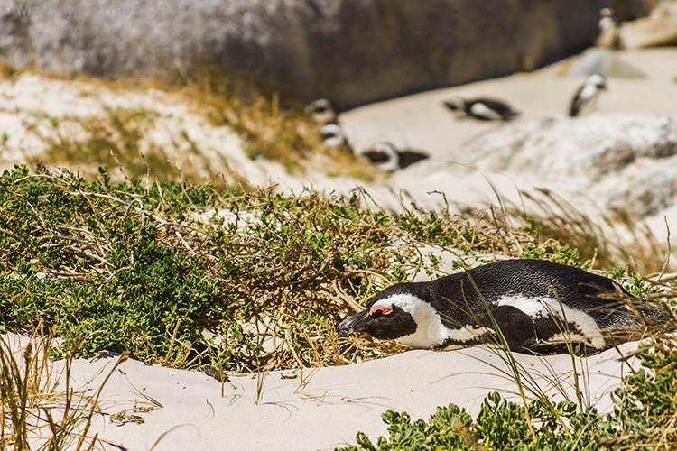 African penguins on Boulder Beach, Simon's Town near Cape Town, South Africa on Mallory on Travel adventure, adventure travel, photographyIain Mallory-300-36 jackass_penguin