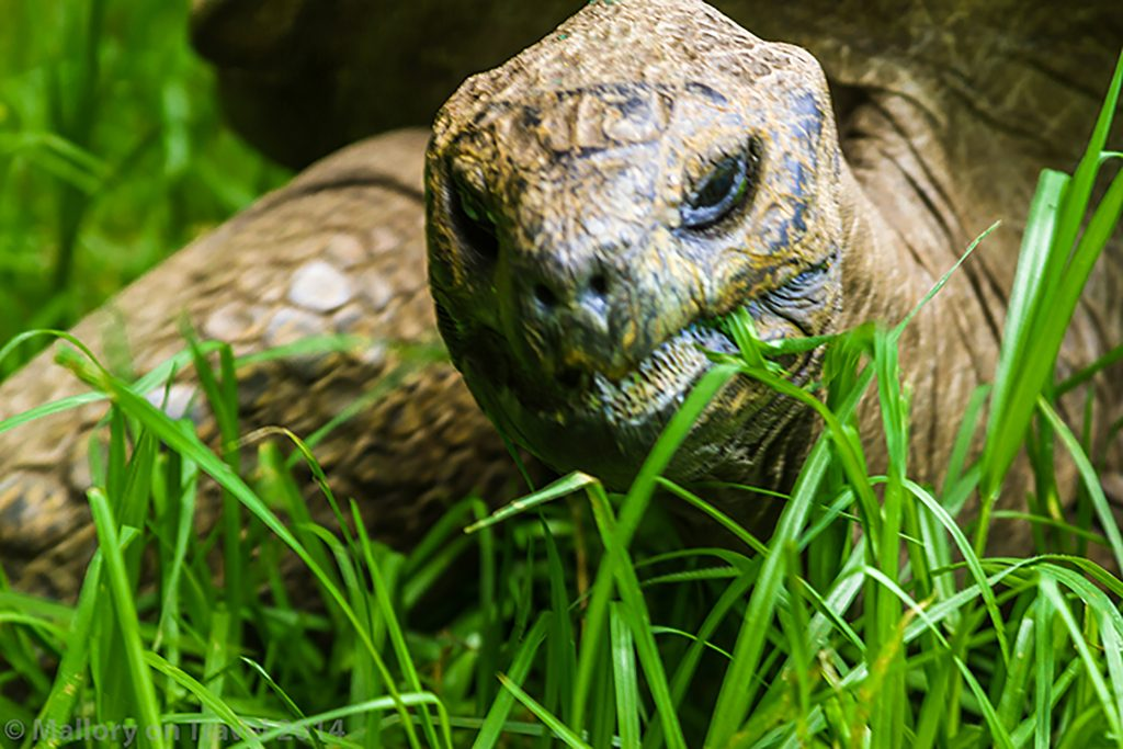 Jonathon the giant tortoise, famous resident at Plantation House on the South Atlantic island of St Helena on Mallory on Travel adventure, adventure travel, photography Iain Mallory-300-51 jonathan_tortoise