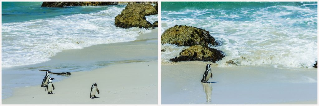 African penguins pair on Boulder Beach, Simon's Town near Cape Town, South Africa on Mallory on Travel adventure, adventure travel, photography Iain Mallory-Penguin Montage-1